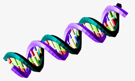 Transparent Dna Strand Png - Cell Division Gizmo Answer ...