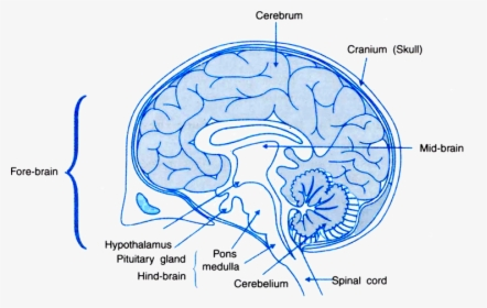 Functions Of Areas Of The Human Brain Human Brain With