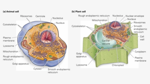 This Illustration Shows A Typical Eukaryotic Animal ...