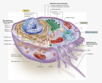Plant And Animal Cell Only Cell Membrane, HD Png Download ...